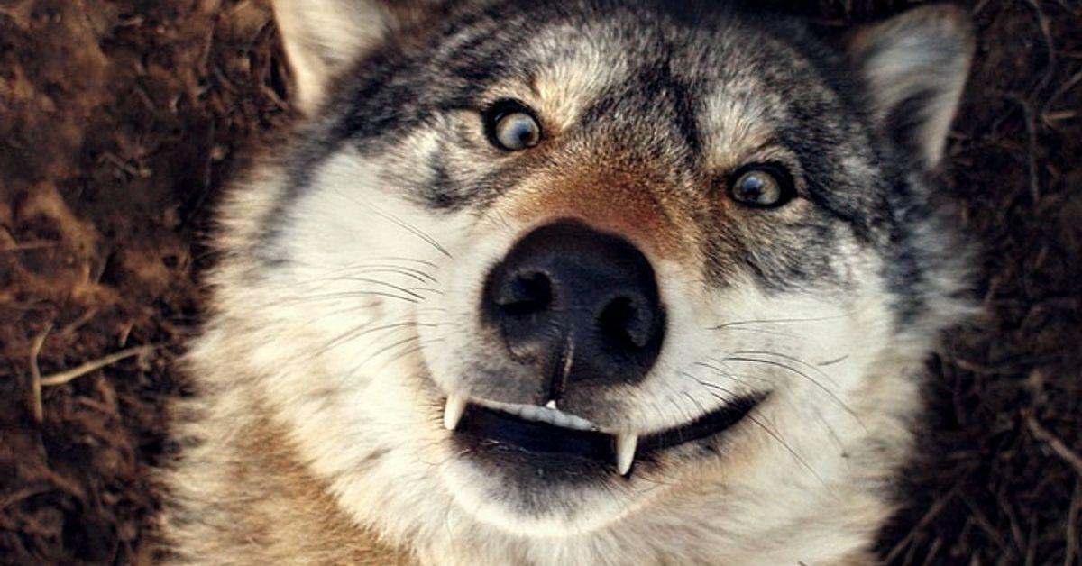 Серый волк фото прикол