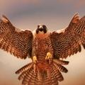 مندوبيه الاونكا هيلز : مغامرات صقر البراري | Onka-Hills embacy presents: a domestic falcon 22/5/20
