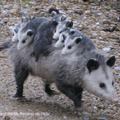 FooF - Crabby Opossum