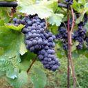 Grape Radio Profile Image