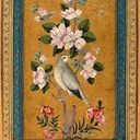 Superb Bird-of Paradise