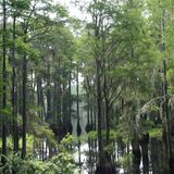 Louisiology 8 - Swamp Forests, part 1