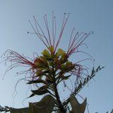 Desert's mimosa