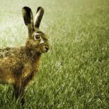Casimir - Der Hase