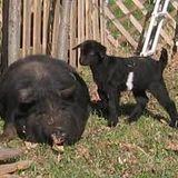 Hog & Goat