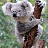 Koala-T Sound
