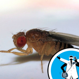 Flavours, Flies, and Facial Hair! - Ask the Naked Scientists 10.06.25