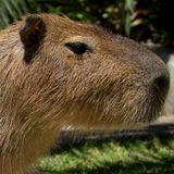 Capybara Stories - 001 - Welcome