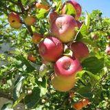 Fiona's Apple tree by Joey Kato