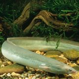 Wunder der Natur: der Aal