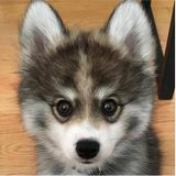 Pet Radio-Norman the Pomsky and Is a Dog Right For You?