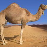 Effed Up Camel