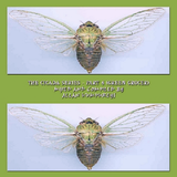 The Cicada Series - Green Grocer
