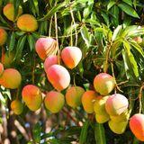 Alguna variedad de Mango