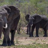 Understanding Elephants