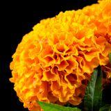 Nuestra Flora: El cempasúchil