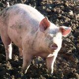2018-08-19 Genieten als een varkentje in de modder door Harry Wolthuizen
