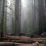 Atop the Sequoia raindrops await a pluviophile