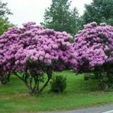 Rododendronis