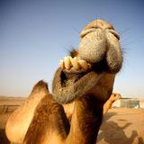 Caramel Camel - DJ Nilionaire