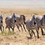 WILD ZEBRAS ON THE RUN (WILD PARTY MIX)