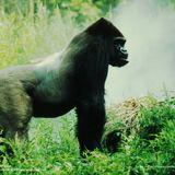JeffreyDj--Gorillas