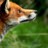 la chronique nature des enfants - le renard