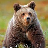 TRAVISWILD's Animal Kingdom Radio 047 - Brown Bear
