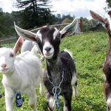 The Danish House Goats (Prog Mash Up House) (Stephen Zaccardelli) Club Skittles Pert 2