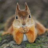 La chronique nature sur les écureuils (Centre socio-Culturel de Thann) 31.01.17