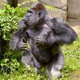 Gorilla Habitat Mix (RIP Harambe)