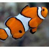 Saltwater Aquarium Hour on AVN: Good Beginner Saltwater Fish and Inverterbrates