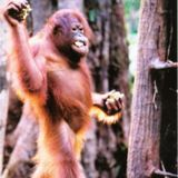 An interview with Nicole Ruiz about orangutans