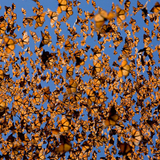 8/14/18 Show feat. Kelsey Ockert and Ryan Ly on the Lives of Monarch Butterflies