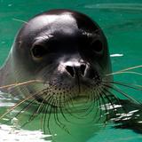 Hawaiian Monk Seal (Active Child - Astronautica - Lomovolokno - Xxxy - Untold - Tourist)