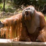 Song of the Orangutan