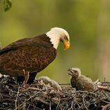 História PGM - Tarde Especial (12.05.14) A águia e seus filhotes - por Ronaldo da Silva