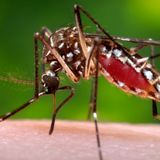 Of DEET, Mesquite, and Mutant Mosquitoes
