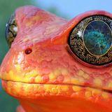 Amanitaceae - Acid Frogs (In Space)