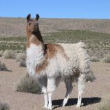Lama (Digital Cumbia - South America - Chancha Via Circuito - Mati Zundel - Oro11- Uproot Andy)