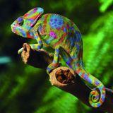 Camo Chameleon