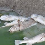Menindee fish kill effects drinking water quality, local business and tourism