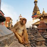 The Meditative Monkey