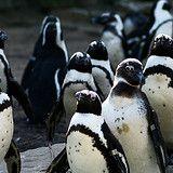 Pinguinum