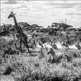 Bushman (Africa)