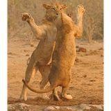 * dancing lions *