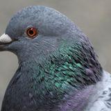 dove / pigeon (06/2014)