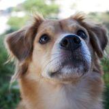 PODCAST: Dog cloning, explained