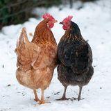 Les Animaux c'est pas d'la bouffe - - -  l'oeuf ou la poule ?