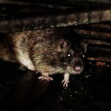 in the den of Italian rats (primo periodo gli anni 80)